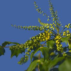 mahonia with blue sky! (Wendy:) Tags: mahonia yellow flowers january