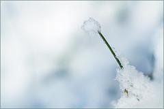 Pinned snowball. I kept it for you. (Gudzwi) Tags: minimalismus minimalism gras natur geringetiefenschärfe schnee glitzern schneeball aufgespiest winter textur nahaufnahme weis makro closeup weisaufweis wassertropfen tautropfen schmelzen tageslicht garten lookingcloseonfriday grass nature shallowdepthoffield snow sparkle snowball impaled texture close white macro whiteonwhite waterdrop dewdrops melt daylight garden nikonmicronikkorp13555mm blanco