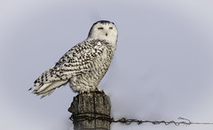 On a post with Barb (kallo39) Tags: snowyowl post farm barbedwire winter ontario canada raptor owl