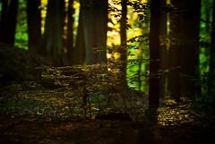 zachod w lesie-6471.jpg bez p-6471 (miroslaw11) Tags: las drzewa światło lato natura liście refleksy kolory żółty zielony