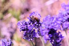 P1140550 (alainazer) Tags: simianelarotonde provence france fiori fleurs flowers lavande lavanda lavender colori colors couleurs abeille bee insecte animal