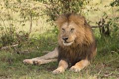 African Lion - Panthera leo (rosebudl1959) Tags: 2019 kenya november masaimara sikio zebraplainsmaracamp malelion