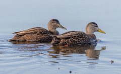 American Black Duck pair (tresed47) Tags: 2020 202001jan 20200106bombayhookbirds birds blackduck bombayhook canon7dmkii content delaware ducks folder january peterscamera petersphotos places season takenby us winter