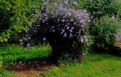 Сентябринки (lvv1937) Tags: sunsetslandscapesandflowers flowersblossomsinblueblumenblüteninblau flickrworldwide architecturelandscapeandcitiesimagesarchirefcom amateurs цветы сад