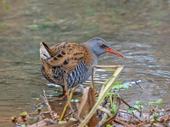 Water Rail. (pecky2013) Tags: waterrail speciesrallusaquaticus nature wetlands reedbeds wadingbird