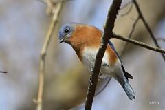 Eastern Bluebird (jt893x) Tags: bird bluebird d500 easternbluebird jt893x male nikon nikond500 sialiasialis sigma sigma150600mmf563dgoshsms songbird