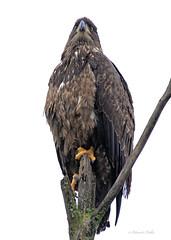 Immature Bald Eagle (full frame image) (ChasingNature) Tags: raptor bird baldeagle immature birdofprey perched tree talons young eagle daylight vancouverislandbirds