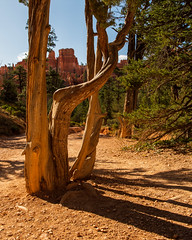 Bryce Canyon National Park       Navajo Loop Trail (JB_1984) Tags: tree trunk hoodoo geologicalformation rockformation colour orange framing shadow navajolooptrail canyon nationalpark brycecanyonnationalpark brycecanyon utah ut usa unitedstates nikon d500 nikon500
