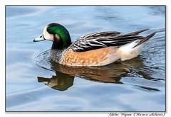 Chiloe Wigeon (blazingsun2011) Tags: birds chiloewigeonmarecasibilatrix eos7d flickr lancashire martinmere naturalworld nature wildlife