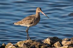 Black-tailed Godwit (Maria-H) Tags: blacktailedgodwit limosalimosa martinmere wwt burscough lancashire uk olympus omdem1markii panasonic 100400