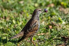 Etourneau sansonnet sur le point d'avaler une olive (jean-louis21) Tags: oiseaux étourneau sansonnet olive starling