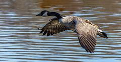 Canada Goose in flight. (drunkcat63) Tags: birds canadagoose
