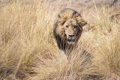 Moment of Nightmares (jeff_a_goldberg) Tags: africa botswana safari walking cat nature nationalpark lion jacana wildernesssafaris naturalhabitatadventures nathab wildlife okavangodelta ngami northwestdistrict
