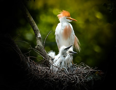 A Spoon Full (Aliparis) Tags: red cattleegrets nature orange bird beaks feathers nest bokeh