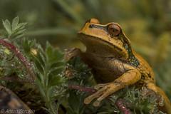 Excubitor (antonsrkn) Tags: abraacanacumarsupialfrog gastrothecaexcubitor marcapataregion peru frog amphibian herp herping herpetology nature andes wildlife animal wildanimal