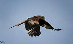 Red Kite. (spw6156 - Over 9,000,397 Views) Tags: red kite raining hard high iso cropped image copyright waterhouse