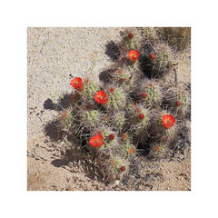 California - Joshua Tree National Park (Michael.Kemper) Tags: canon eos 6 d 6d ef 2470 24 70 f4 f 4 l is usm voyage travel travelling reise vacation urlaub usa us united states america vereinigte staaten von amerika american southwest amerikanischer südwesten southern california kalifornien südkalifornien joshua tree national park nationalpark np cactus cacti kaktus kaktee kakteen echinocereus triglochidiatus desert wüste spring frühling blossom blossoms blüte blüten red rot blackspine claret cup hedgehog black spine robust white