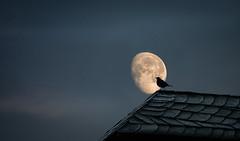 Moon Light (hardy-gjK) Tags: amsel black bird vogel oiseau roof dach schiefer night nacht mond luna moon sky himmel hardy nikon