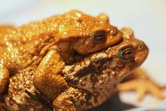 """Gros câlin... par """"Jojo"""" et """"Josette""""... les crapauds de mon jardin (domiguichard) Tags: toad nature"""
