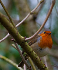"""Looking @ You"" (Adam Swaine) Tags: adamswaine birds gardenbirds englishbirds britishbirds uk woodland robin robinredbreast robins ukcounties londonparks england english britain canon trees peckhamryepark naturelovers nature naturewatcher wildlife 2020"