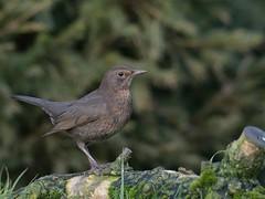 Merel (jandewit2) Tags: merel blackbird amsel bird vogel zangvogel nikon natuurmonumenten netherlands nederland natuur nature