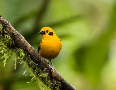 0P7A0984  Golden Tanager , Ecuador (ashahmtl) Tags: goldentanager bird songbird tanager tangaraarthus santadeo pichinchaprovince ecuador