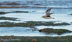 Grey Plover (Ponty Birder) Tags: g b wheeler garywheeler pontybirder birdsinflight waders plover rspb england uk pluvialissquatarola