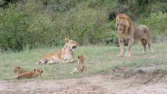 Worrying Times (1) (Tris Enticknap) Tags: africa kenya africanlion masaimara masaimaranationalreserve lion pantheraleo cat bigcat