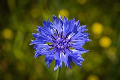 Fleur bleue (balese13) Tags: 100nikon 1855mm berry d5000 nikonpassion notredame orsan yourbestoftoday balese centre jardin nikon nikonistes pixelistes prieuré 250v10f 500v20f centaurée bleu blue 1000v40f 1500v60f