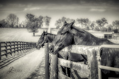Thoroughbred Horses at Old Friends Farm (B/W) (JuanJ) Tags: nikon d850 lightroom photoshop luminar art bokeh lens light landscape happy naturephotography nature people white green red black pink skyportrait location architecture building city square squareformat instagramapp shot awesome supershot beauty cute new flickr amazing photo photograph fav favorite favs picture me explore interestingness friends dof sunset sky flower night tree flowers portrait fineart sun clouds bw blackandwhite horse thoroughbred equine oldfriendsfarm farm betterinthegrass nikonfxshowcase