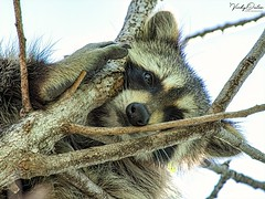🇺🇸 Raccoon not looking too happy FK 7294 (vickyoutenphoto) Tags: vickyouten raccoon wildlife nature nikon nikond7200 nikkor55300mm floridakeys florida usa