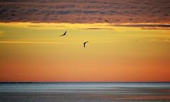 Seagulls running away from a drone (En memoria de Zarpazos, mi valiente y mimoso tigre) Tags: sunrise skyfire sky sea seascape seagull drone cielo mar amanecer nikon