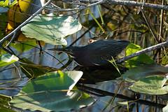 2029 12-31 Green Heron DSC07667 (Caphayes) Tags: bird greenheron everglades evergladesnatpark royalpalm anhingatrail