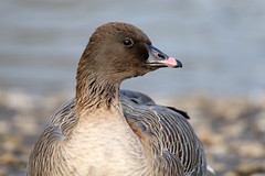 Pink-footed Goose - Anser brachyrhynchus (Roger Wasley) Tags: pinkfooted goose anserbrachyrhynchus bird captive geese wwt slimbridge wildfowl wetlands trust uk pinkfoot coth5
