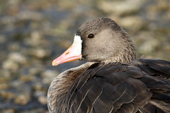 Greater White-fronted Goose - Anser albifrons (Roger Wasley) Tags: greater whitefronted goose anseralbifrons bird captive geese wwt slimbridge wildfowl wetlands trust uk coth5
