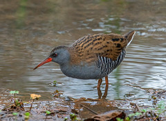 Water Rail. (pecky2013) Tags: waterrail speciesrallusaquaticus elusive wader wetlands reedbeds