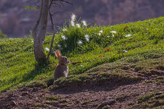 Curioso (rsoledadvf) Tags: naturephotography animals rabbit canon6d lightroom chile southamerica parquebicentenario vitacura santiagodechile