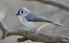 Tufted Titmouse (jt893x) Tags: baeolophusbicolor bird d500 jt893x nikon nikond500 sigma sigma150600mmf563dgoshsms songbird titmouse tuftedtitmouse