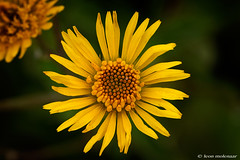 Yellow Flower (leendert3) Tags: leonmolenaar southafrica limpopoprovince haenertsburg drakensbergmountains magoebaskloof ngc npc s5 coth5