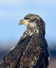 Immature Bald Eagle - Profile (kenyoung3) Tags: haliaeetusleucocephalus basicii immature boundarybaydeltabc eagle baldeagle
