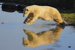 IS_EOS_000247 (Ian Slingsby) Tags: ywp yorkshirewildlifepark wildlifepark zoo polarbear
