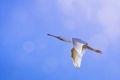 Up (memories-in-motion) Tags: löffler platalealeucorodia bird texel fly blue sky nature white dmcgx8 leicadg100400f4063