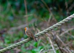 """Bird on a Rope"" (Adam Swaine) Tags: adamswaine robin robinredbreast robins birds gardenbirds englishbirds britishbirds wildlife canon peckhamryepark animals 2020 london naturelovers nature naturewatcher uk ukcounties britain british fantasticnature"