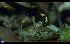 Il terrificante ingegno dello scarabeo mangiatore di rane (mondoanimale) Tags: animali insetti predatori carnivori