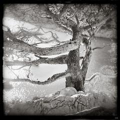flaring tree (*altglas*) Tags: mittelformat mediumformat 6x6 analog film superikonta zeiss ilford fp4 vintage bw monochrome calanques morgiou france tree pine sea reflection flare water mediterranean