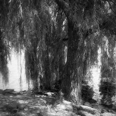 The weeping willow (lebre.jaime) Tags: austria upperaustria gmunden tree weepingwillow willow analog film120 mediumformat mf squareformat 6x6 bw blackwhite noiretblanc nb pb pretobranco kodak tmax400 tmy2 hasselblad 500cm carlzeiss planar cf2880 epson v600 affinity affinityphoto