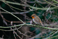 Winter Nature's Wonders (Adam Swaine) Tags: robin robinredbreast robins birds gardenbirds englishbirds britishbirds naturelovers nature naturewatcher wildlife uk london londonparks wild england english beautiful britain british 2020 woodland adamswaine
