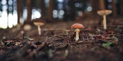 (a└3 X) Tags: natur nature alexfenzl outdoor color makro austria macro macrofotografie mushroom pilze fungi wildlife 3x a└3x availablelight bokeh closeup wow outside