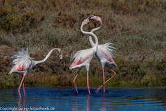 Greater Flamingo (xrxss15) Tags: algarve alvor animalia animals aves birds europe flamingos greaterflamingo phoenicopteridae phoenicopterusroseus portugal riadealvor rosaflamingo tiere vögel