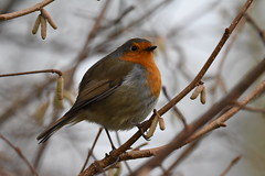 Robin (Deanne Wildsmith) Tags: robin bird staffordshire bartonmarina earthnaturelife